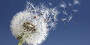 Dandelion clock dispersing seeds